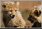 Gepardencups beim Plauschen