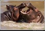 Hippos beim Kampf