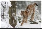 Junger Luchs im Schnee