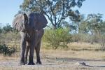 Elefant, Botswana 2011