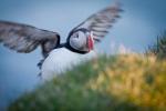 Papageitaucher, Latrabjarg, Island 2012