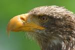 Junger Weißkopfseeadler (C)