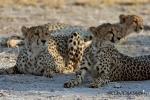 Junge Cheetahs, Nxai pan, Botswana 2007