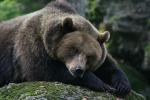Bär im Bayrischen Wald (C)