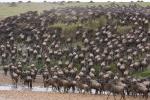 Stürmische Gnus, Masai Mara, Kenia 2008